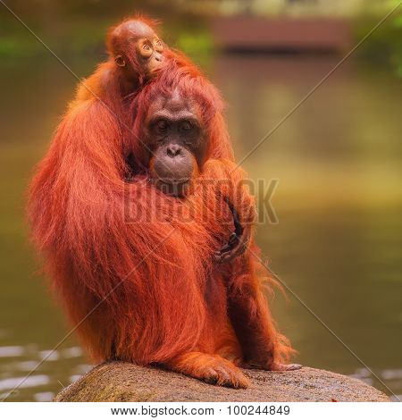 Young orangutan is sleeping on its mother