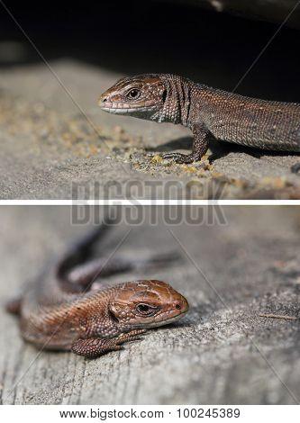Viviparous lizard. A cub of zootoca vivipara