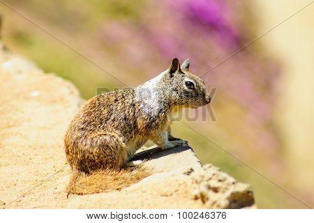 Squirrel On A Sandstone Cliff