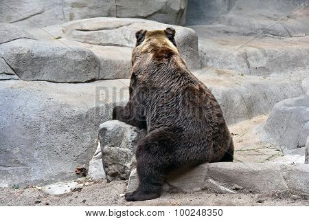 grizzly bear sitting backwards