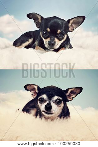 a tiny chihuahua on a cloud in the sky when he was a puppy and as a senior dog
