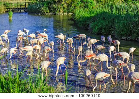 Large flock of pink flamingos. Picturesque exotic birds roost at sunset. Evening light in the National Park of the Camargue, Provence, France