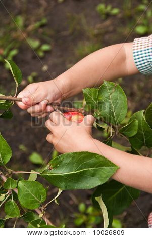 Closeup Of A Child's Hands Picking A Red Appple From A Tree