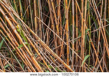 Brown bamboo stalks
