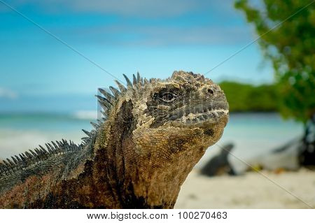 beautiful iguana resting in the beach santa cruz galapagos
