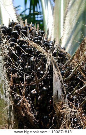 Close-up view palm oil fruit bunches on the palm oil trees