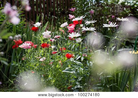camomile and red poppies