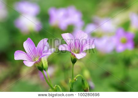 Pink Wood Sorrel Oxalis Articulata Subsp