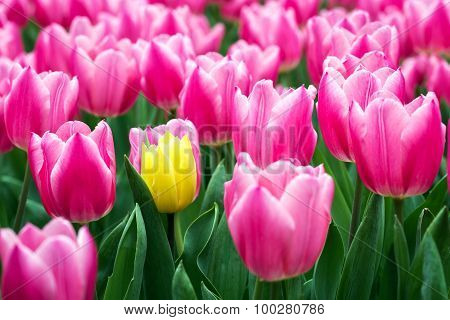Pink tulips and one yellow