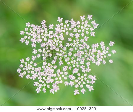 Group Of Small White Flowers