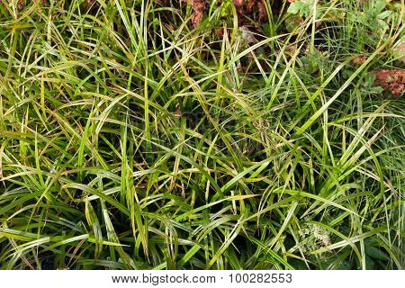 Long green grass for backgrounds and textures