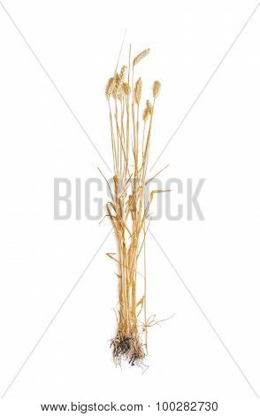 Several Stems Of Wheat With Spikelet On A Light Background