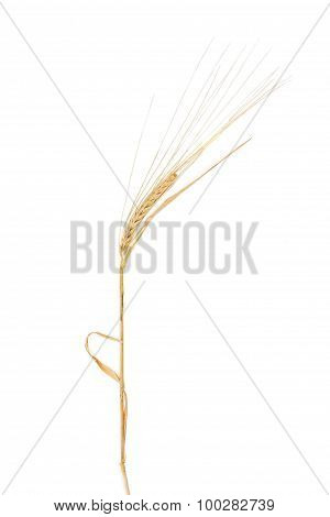Stem Of Barley With Spikelet On A Light Background