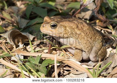 African Toad Sitting In A Sunbeam On The Forest Floor