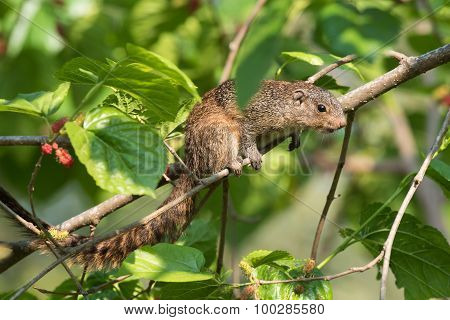 Smith's Bush Squirrel (paraxerus Cepapi) Searching For Ripe Berries