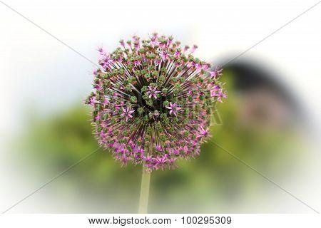 Allium Macleanii