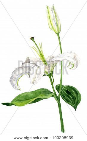 watercolor drawing white lily