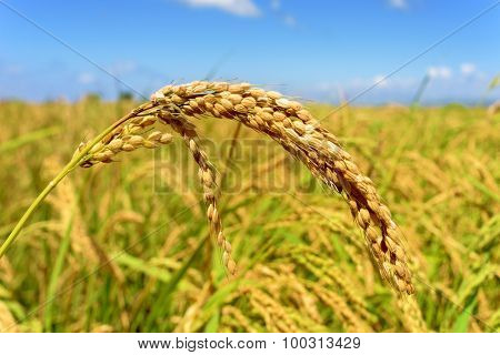 closeup of a rice plant in a paddy field in the Ebro Delta, in Catalonia, Spain