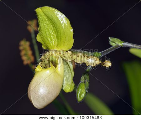 Paphiopedilum Orchid Pinocchio