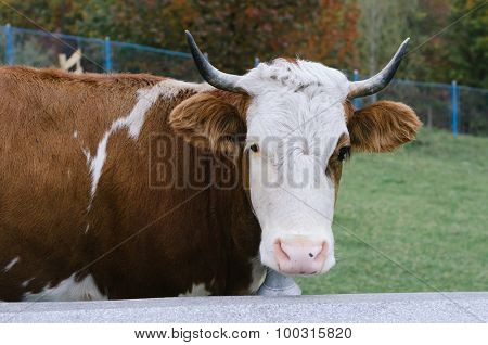 Portrait of a cow with a metal bell on his neck. Mountain village in the Carpathian Mountains, Ukraine, Europe