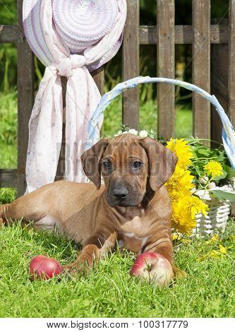 Rhodesian Ridge-back Puppy Dog In The Garden