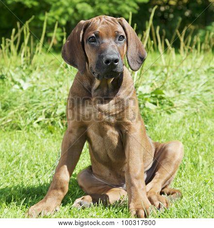 Pure Breed Rhodesian Ridge-back Puppy Dog
