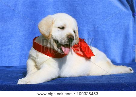 The Cute Little Labrador Puppy On A Blue Background