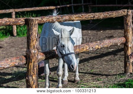 Bay Horse Standing at wooden fence in pasture