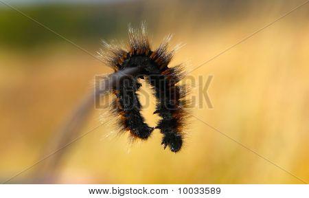 A Caterpillar