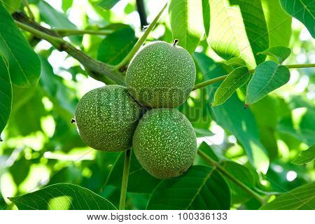 Green Walnuts Are Growing On The Tree.