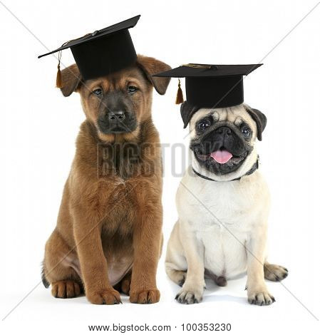 Cute dogs  with grad hats isolated on white - education concept
