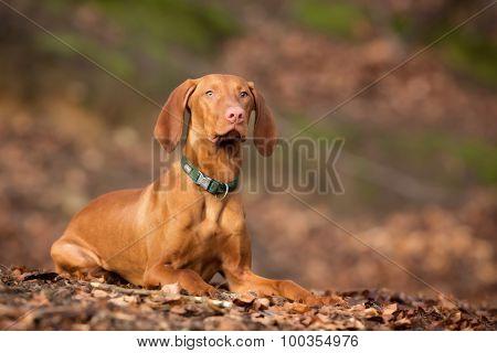 Purebred Vizsla Dog