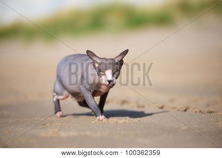 canadian sphynx cat walking on the beach
