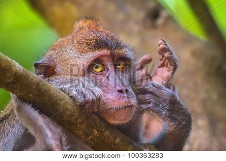 Crab-eating, long-tailed macaque, Macaca fascicularis
