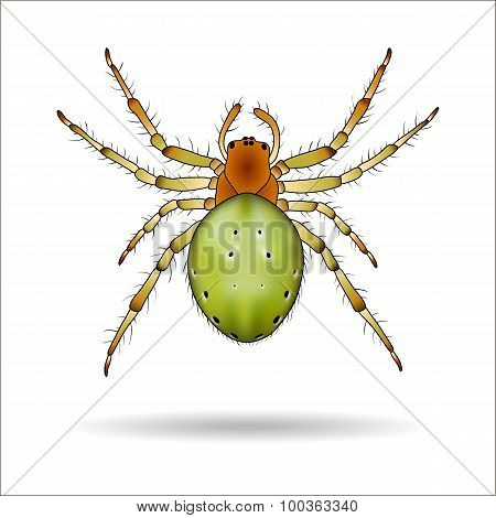 Spider Isolated On White Background