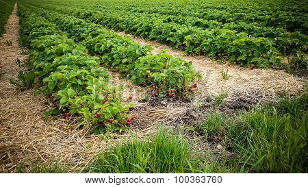 Strawberry Field With Ripe Berries As Background
