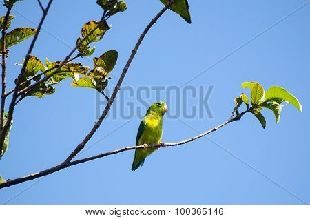 Green-rumped Parrotlet Sittiing On A Tree Branch