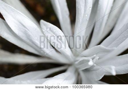 Senecio Niveoaureus Plant Leaves With Few Crystal Clear water Drops Closeup
