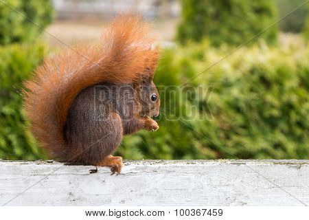 Squirrel Sitting On White Fence Eating A Nut