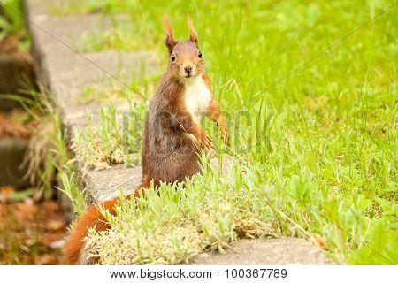 Brown Squirrel Starring