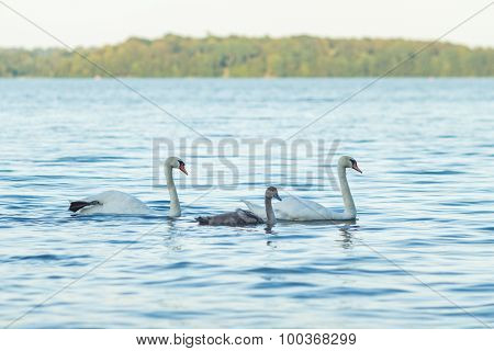 Swan Family In Water