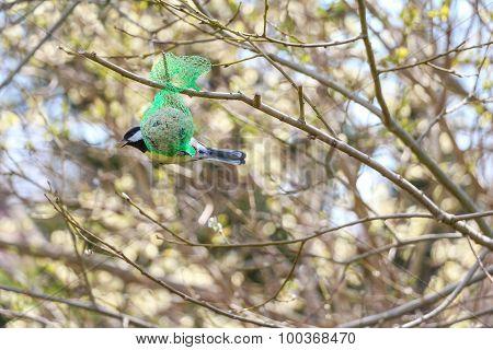 Titmouse Bird Sitting On Bird Food