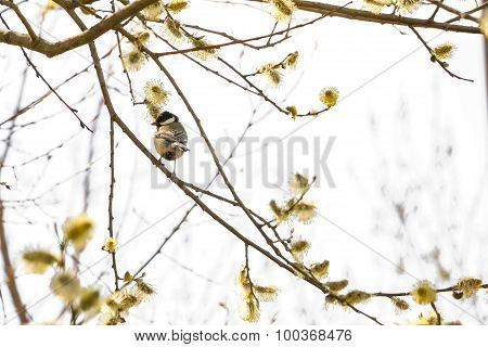 Titmouse Sitting On Branch
