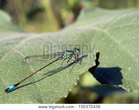 Blue damselfly (Ischnura elegans