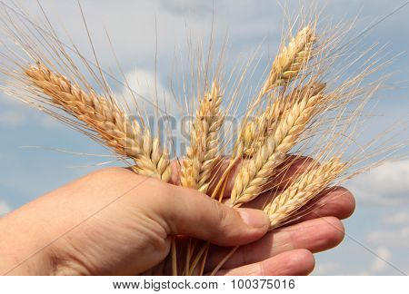 Ear of wheat in male hand on a sky background