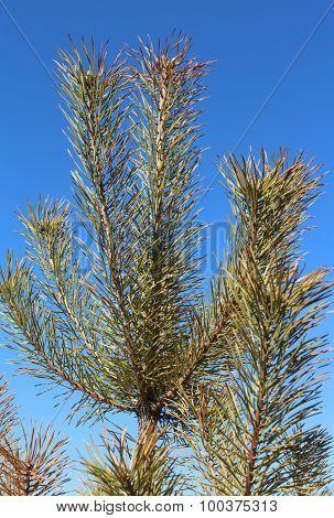 Pine leaves on a blue sky