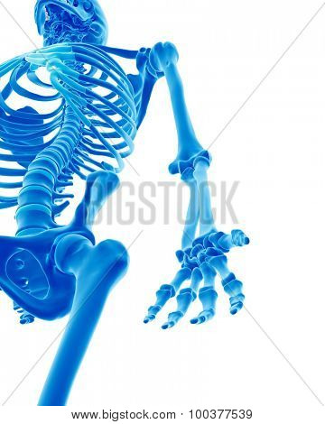 medically accurate illustration of the skeletal arm