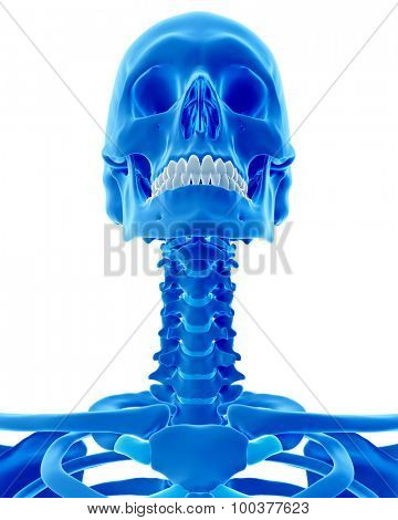 medically accurate illustration of the skeletal neck