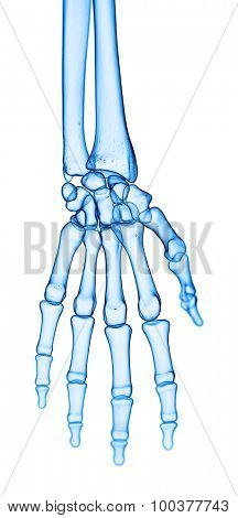 accurate medical illustration of the hand