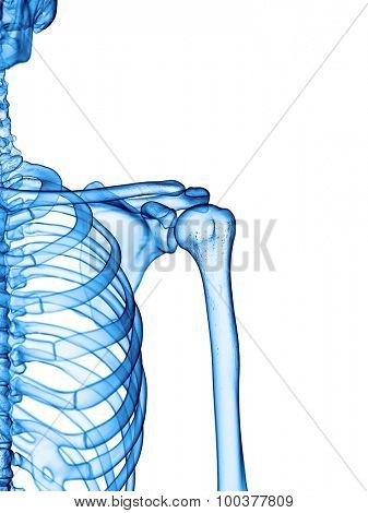 accurate medical illustration of the shoulder